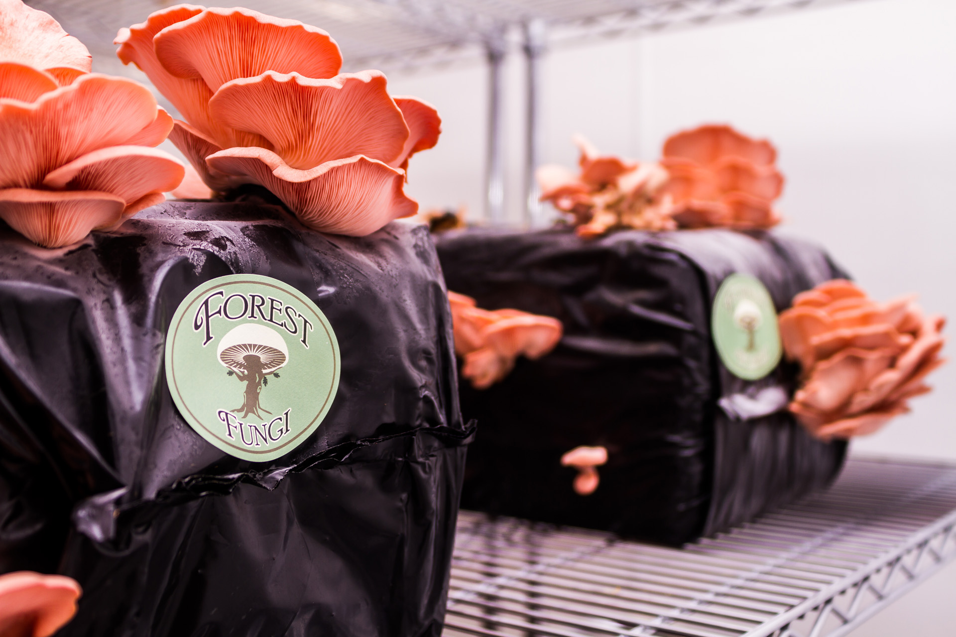 Forest Fungi - Growing Pink Oyster Mushroom