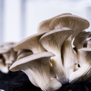 Organic Grey Oyster Mushrooms