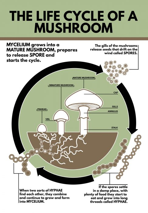Life Cycle of a Mushroom - no bleed
